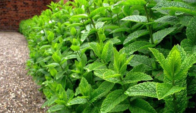 ТОП 10 Полезных трав для заваривания чая