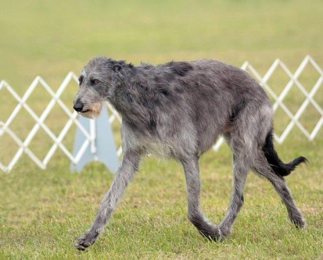 ТОП 10 Самых больших пород собак