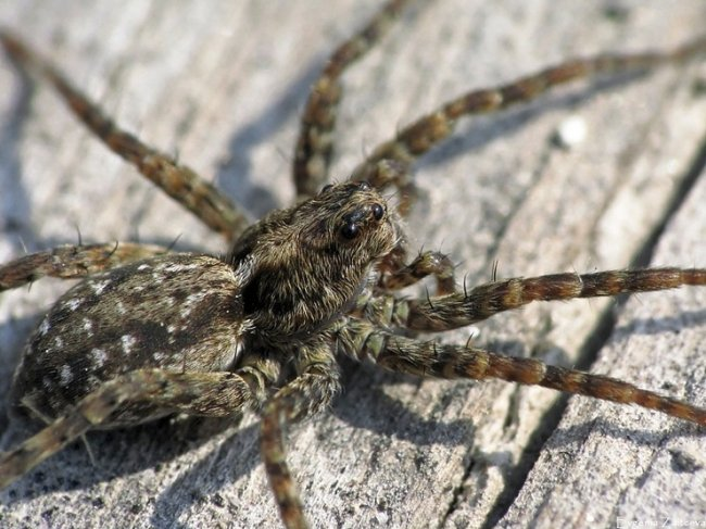 ТОП 10 Самых ядовитых пауков в мире