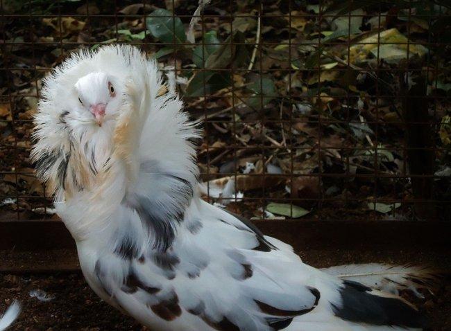 ТОП 10 Самых необычных голубей