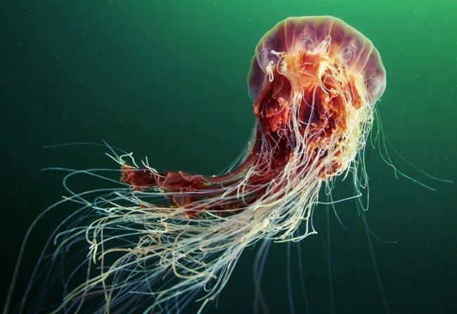 ТОП 10 Самых красивых медуз в мире