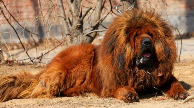 ТОП Самые дорогие породы собак в мире