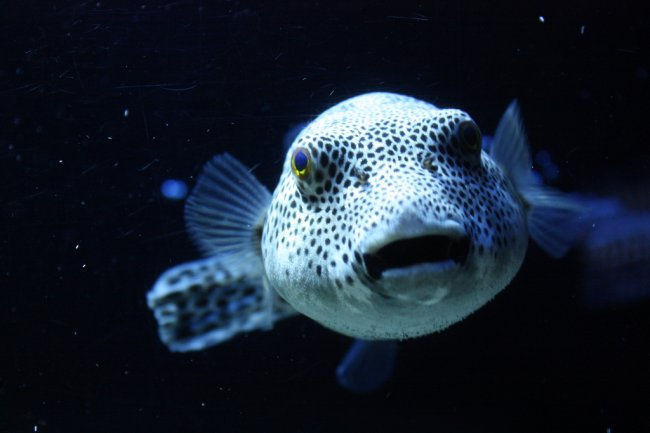 Самая ядовитая рыба в мире кто она