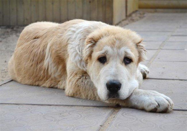 ТОП 10 Самых сильных пород собак
